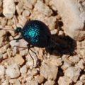 desert_spider_beetle_lynn