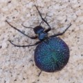 desert_spider_beetle_new_mexico
