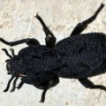 diabolical_ironclad_beetle