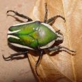 dicranorrhina_derbyana_south_africa_ingrid