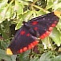 diurnal_moth_honduras
