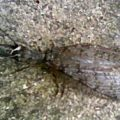 dobsonfly_leah