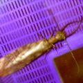 dobsonfly_male_heather