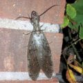 dobsonfly_mishi