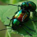 dogbane_beetles_mating_katy