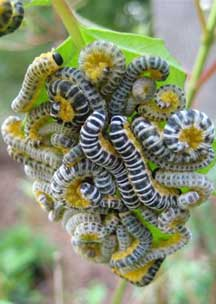 Dogwood Sawfly Larvae What S That Bug