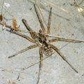 White Banded Fishing Spider