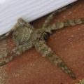 dolomedes_carolina