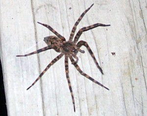 Fishing Spiders and Male Crevice Weavers - What's That Bug?