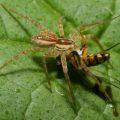 dolomedes_eats_fly_austraila_trevor