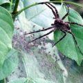 dolomedes_nursery_web_amanda
