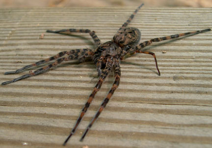 Fishing spider size - photo#31