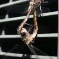 dragonflies_mating_paul