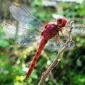 dragonfly_panama_lilith