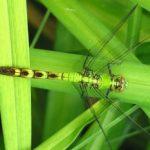 dragonfly_tsinche
