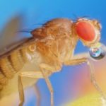 drosophila_kyron