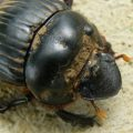 dung_beetle_dorsal_costa_rica_mary