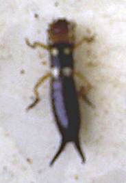 earwig_israel White Insect On House Plants on mites on plants, white looking bug in my house, white fungus on house plants, scale on plants, kill bugs on house plants, house bugs that attack plants, white mold like growth on bushes, aphids on plants, common insects found on plants,