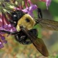 Xylocopa virginica - Eastern Carpenter Bee