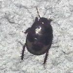 ebony_bug_hector