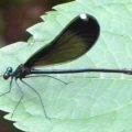 ebony_jewelwing_ferd