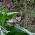 elegant_grasshopper_rwanda_clare