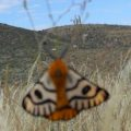 elegant_sheep_moth_ty
