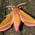 elephant_hawkmoth_hilary