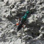 emerald_cockroach_wasp_brazil_cesar_2