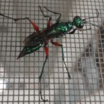 emerald_cockroach_wasp_hawaii