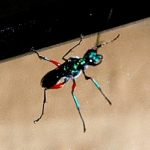 emerald_cockroach_wasp_singapore_huaguang