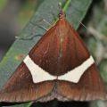 epidesmia_tricolor_australia_ridou
