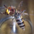 european_hornet_chris