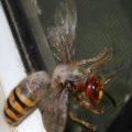 european_hornet_queen_walker