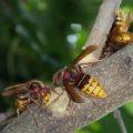 european_hornets_erik