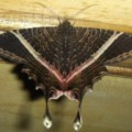 eyetail_moth_costa_rica_amanda
