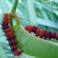 faithful_beauty_caterpillars_elizabeth