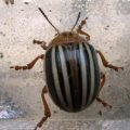 false_potato_beetle_commander