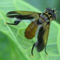 featherlegged_fly_portugal_dania