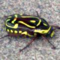 fiddler_beetle_anthony