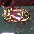 fiddler_beetle_australia_irena
