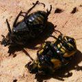 fiddler_beetles_australia_melissa_2
