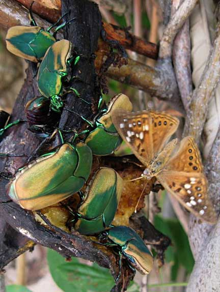 Green June Beetles And Emperor Butterfly What S That Bug