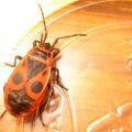 firebug_utah_invasive