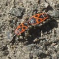 firebugs_mating_ukraine