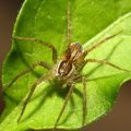 fishing_spider_australia_trevor