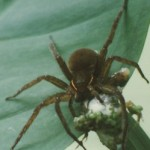 fishing_spider_eats_tree_frog