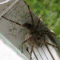 fishing_spider_eggsac_amanda