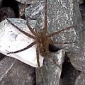 fishing_spider_joseph