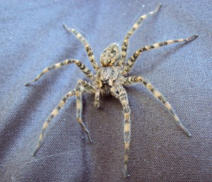 Fishing Spider What S That Bug